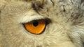 Eye of Siberian Eagle Owl Royalty Free Stock Photo