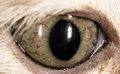 The eye of a small kitten . macro