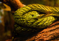 Eye of Snake coiled on tree log, Green Mamba Royalty Free Stock Photo