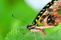 Eye of tailed jay graphium agamemnon butterfly the also called green spotted triangle green or the green triangle belongs to Royalty Free Stock Photography