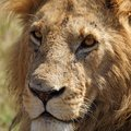 Eye-to-eye with old lion male, Kenya Royalty Free Stock Images