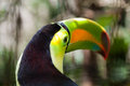 Eye of the toucan close up a head with in focus and air holes at top colorful beak Royalty Free Stock Photo