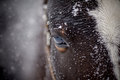An eye of a wet brown horse in snow Royalty Free Stock Photo