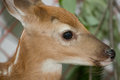 Eye of a young fawn close up Royalty Free Stock Photos