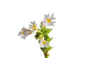 Eyebright euphrasia officinalis colorful and crisp image of Stock Photos