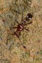 Eyed черенок мухы Стоковая Фотография