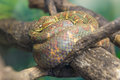 Eyelash viper bothriechis schlegelii slithering on a branch bare Royalty Free Stock Image