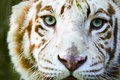 Eyes of the albino tiger Royalty Free Stock Photo