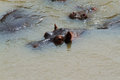 Eyes and ears of hippos submerged in river in africa Royalty Free Stock Image