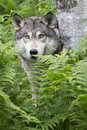 The eyes have it timber wolf peering through green ferns in forest Stock Photos
