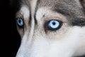 Eyes of husky dog Royalty Free Stock Photo