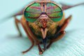 Eyes of an insect. Portrait Gadfly. Hybomitra Royalty Free Stock Photo