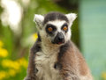 Eyes lemur look in your Royalty Free Stock Photo