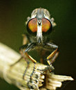 The eyes of robberfly macro shooting Royalty Free Stock Photo