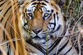 The eyes of a Tiger Royalty Free Stock Photo
