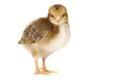 Förtjusande behandla som ett barn chick chicken på vit bakgrund Arkivbilder