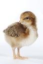 Förtjusande behandla som ett barn chick chicken på vit bakgrund Royaltyfria Foton