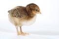 Förtjusande behandla som ett barn chick chicken på vit bakgrund Fotografering för Bildbyråer