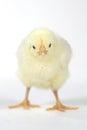 Förtjusande behandla som ett barn chick chicken på vit bakgrund Arkivbild