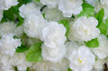 Fabric arabian jasmine in market thailand Stock Photos