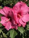 Fabulous Fuchsia Hibiscus