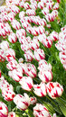 Fabulous tulips the famous of the netherlands red and white Royalty Free Stock Photos