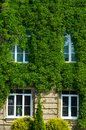 The Facade of the Building is Covered with Ivy Royalty Free Stock Photo