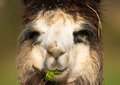 Face of an alpaca Royalty Free Stock Photo