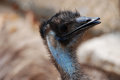 Face of a Blue Emu with Black Feathers Royalty Free Stock Photo