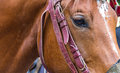 Face of a brown horse in profile with part leather harness reins with intelligent eyes Royalty Free Stock Photo