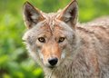 Face of coyote portrait in nature during summer Stock Photography