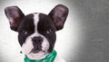 Face of a cute french bulldog puppy dog Royalty Free Stock Photo