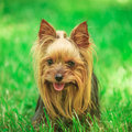Face of a cute yorkshire terrier puppy dog in the grass Royalty Free Stock Photo