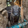 Face of Egyptian grey buffalo framed by window of clay stockyard in Egyptian farm Royalty Free Stock Photo