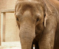 The face of an elephant Royalty Free Stock Photo