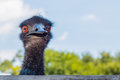 Face of emu frontal view Royalty Free Stock Photo