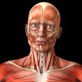 Face facial muscles - Human anatomy