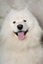 Face of happy samoyed dog with Royalty Free Stock Photos