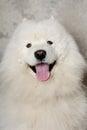 Face of happy samoyed dog Royalty Free Stock Photo