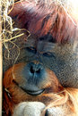 Face of Orangutan Stock Photography