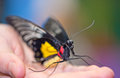 Face of red spot sawtooth butterfly sitting on the palm Stock Image