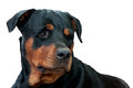 Face of rottweiler isolated on white Royalty Free Stock Photo