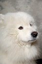 Face of sad samoyed dog with Royalty Free Stock Images