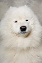Face of samoyed dog with happy Stock Images