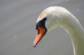 Face Of A Swan