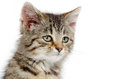 Face of tabby kitten portrait cute baby on white background Stock Photography