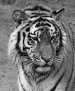 Face of a tiger in black and white