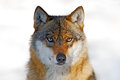 Face to face portrait of wolf. Winter scene with danger animal in the forest. Gray wolf, Canis lupus, portrait with stuck out tong Royalty Free Stock Photo
