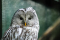 Face of Ural Owl