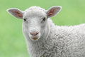 Face of a white lamb Royalty Free Stock Photo